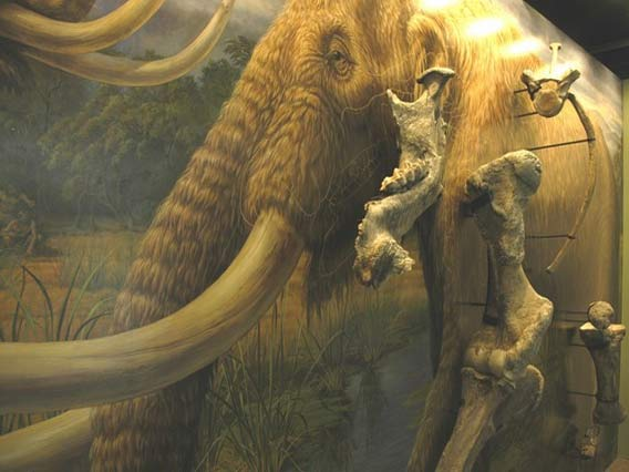 Manis Mastodon Exhibit, http://www.macsequim.org/data/photos/exhibits/mastodon/